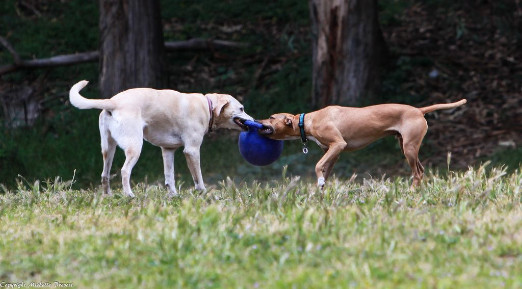 Dog tug-of-war exhibits dominance.